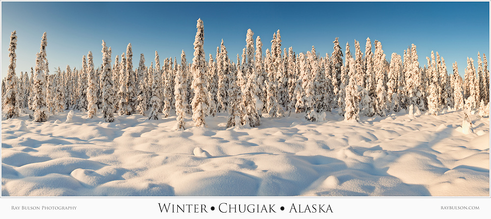 Composite panorama of snow-covered spruce trees in late afternoon sun in winter in Southcentral Alaska. Afternoon.