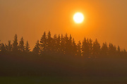 Morning fog and evergreen trees trees; coniferous; shelterbelt<br /> Argyle<br /> Manitoba<br /> Canada