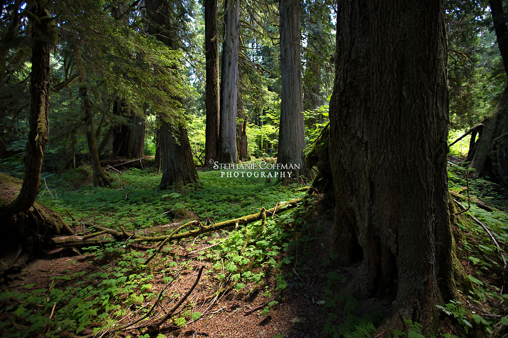 Exploring Grove of the Patriarchs in Mt. Rainier National Park, Washington, USA