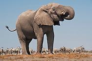 Elephant bull at waterhole, Loxodonta africana, with zebras, Etosha National Park, Namibia