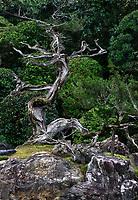 Beautiful juniper tree at the Crane and Turtle Japanese Zen rock garden of Konchi-in historic temple at Nanzen-ji complex in Sakyo-ku, Kyoto, Japan 2017