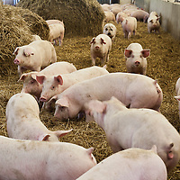 Young pink pigs  in a pig barn with clean straw bedding.