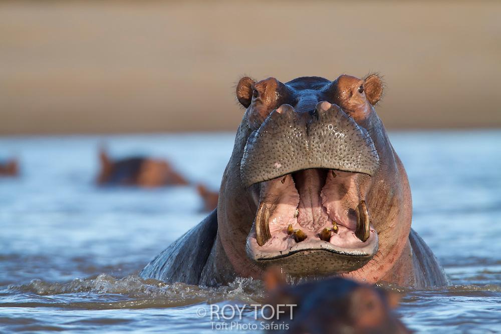 Hippopotamus in the water, Zambia, Africa