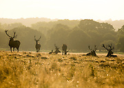 © Licensed to London News Pictures. 31/08/2014. Richmond, UK As the summer months draw to a close in the UK, deer graze in Richmond Park in Surrey today 31 August 2014. Photo credit : Stephen Simpson/LNP