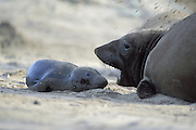 Northern Elephant Seal <br /> Mirounga angustirostris<br /> Mother and newborn pup (still wet from birth)<br /> Ano Nuevo State Reserve, CA, USA