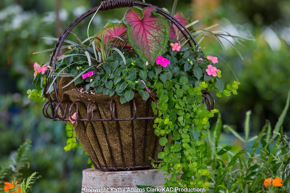 Container garden, Garden, Calladium, impatient, basket, Houston, late summer, Texas.