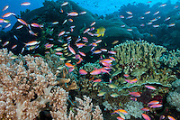 Anthias Schooling and feeding<br /> <br /> Shot in Indonesia