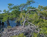 Osprey flying to nest in cypress tree, © 2007 David A. Ponton