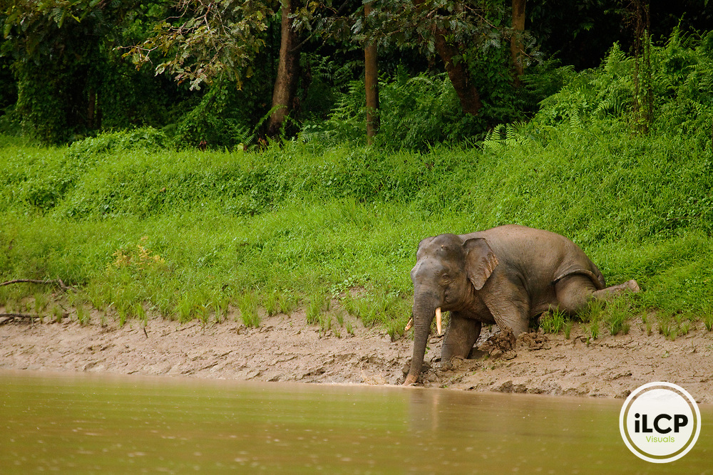 Borneo Pygmy Elephant (Elephas maximus borneensis) male sliding into river, Kinabatangan River, Sabah, Borneo, Malaysia