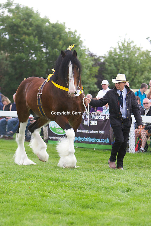 Paul Bedford's bay stallion Metheringham Upton Hamlet  6yrs   <br /> Sired by Moorfield  Edward<br /> <br /> Winner: Colt or Stallion 2 years old and over Class<br /> Winner:  Shire HOYS Qualifying Class<br /> Winner:  Champion Shire