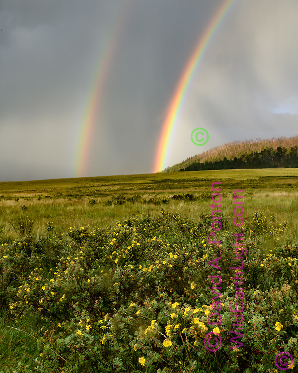 Rainbow at the Valle Grande, with shrubby cinquefoil in bloom, Valles Caldera National Preserve, (vertical 4x5, 8x10, 16x20) © 2018 David A. Ponton