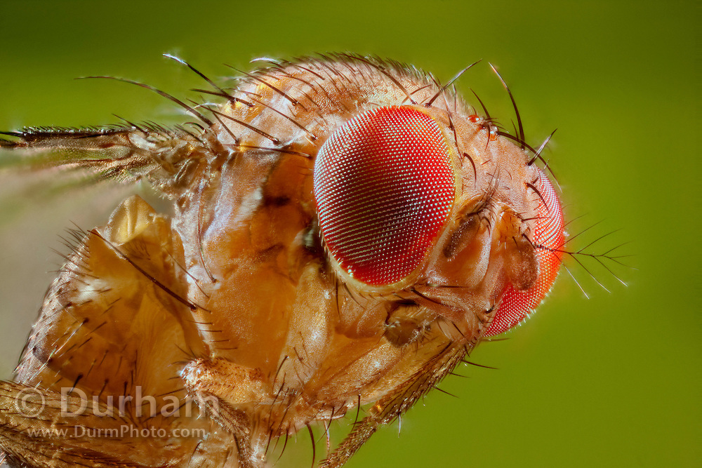 Portrait of a female spotted wing fruit fly. An introduced pest species in North America, the spotted wing fruit fly (Drosophila suzukii) feeds and breeds on fresh berries such as rasberries, strawberries and cherries – unlike most fruit flies that infest decaying and rotting fruit. Drosophila suzukii is a substantial pest for berry and fruit farmers.© Michael Durham / www.DurmPhoto.com