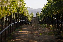 Pinot Noir wine grapes vines in the Carneros District, a cool, wind-swept region that borders the San Pablo Bay and marks the entrance to both Napa and Sonoma valleys. Photo by Kim Kulish
