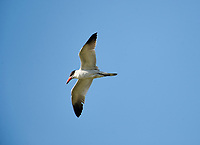 Caspian tern (Hydropogne casoia) flying above Lake Chapala, Jalisco, Mexico