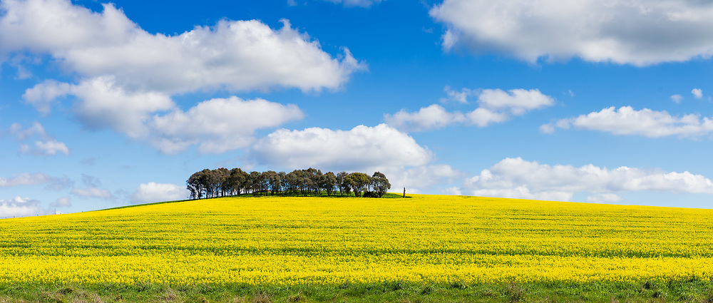 trees on hill overlooking canola crop under clouds near Morongla, New South Wales, Australia. <br />