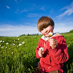 A boy (age 6) picks daisies in a hay field on a farm in Ipswich, Massachusetts.