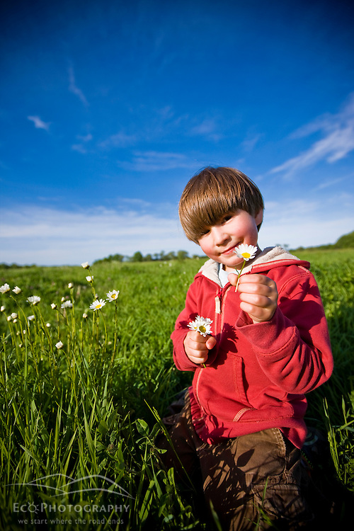 A boy (age 6) picks daisies in a hay field on a farm in Ipswich, Massachusetts.