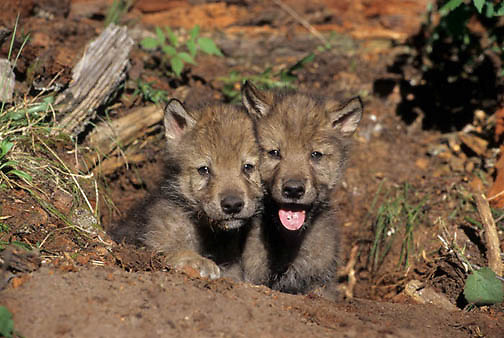 Gray Wolf, (Canis lupus) Portrait of pups. Rocky mountains. Montana. Spring.  Captive Animal.
