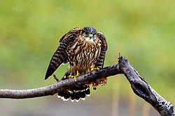 Merlin (Falco columbarius) sitting on a branch, Lake Clark National Park, Alaska, United States of America