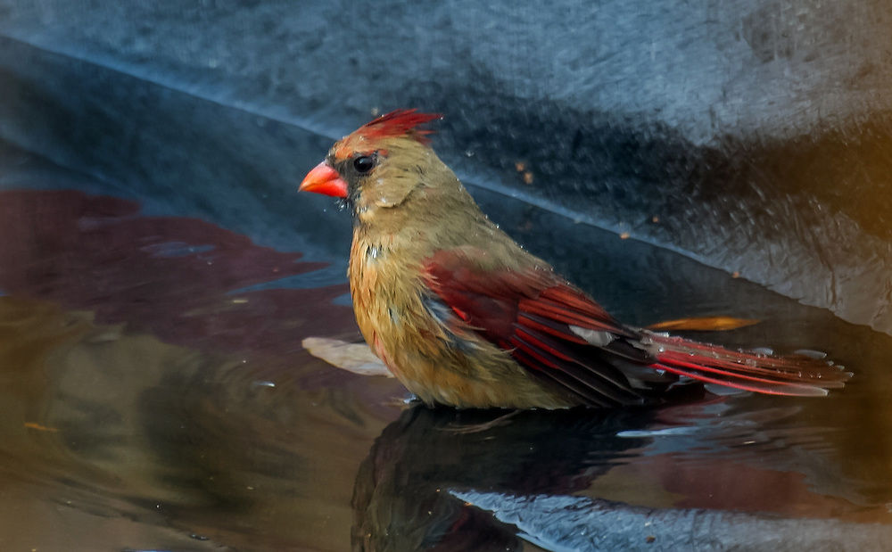 I snuck this one in. Not taken in the park, but rather on a covered swimming pool. It's a female cardinal.