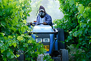 Man on tractor spraying insecticide on the vines in a vineyard. Photographed in Israel