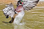 Wood Duck, California, North America