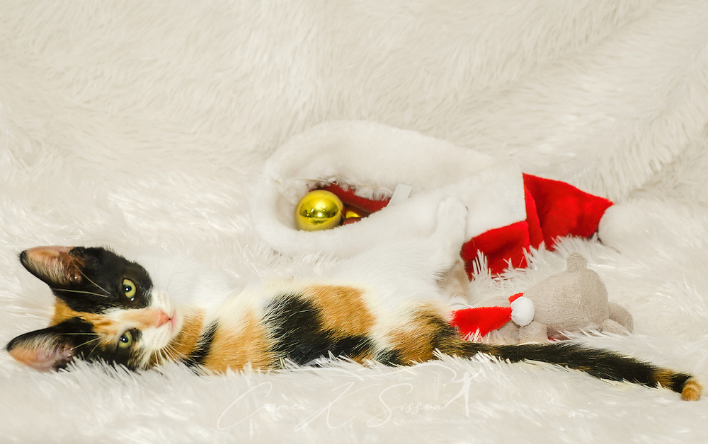 Pumpkin, a three-month-old calico cat, plays with Christmas ornaments, Dec. 26, 2014, in Coden, Alabama. (Photo by Carmen K. Sisson/Cloudybright)