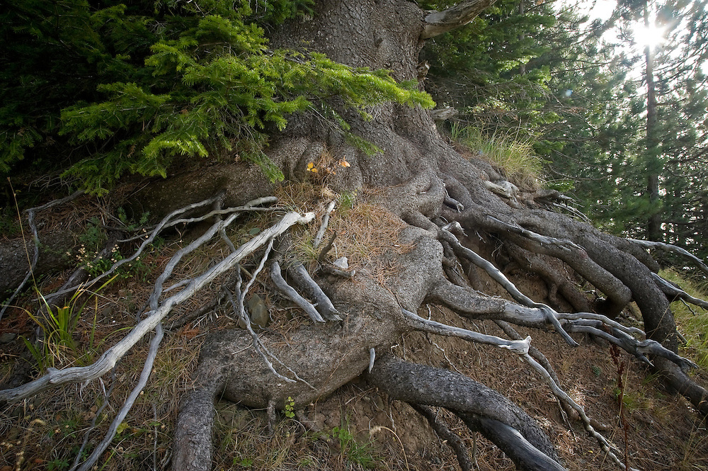 Greece, Pindos Mountains, Pindos NP, Valia Calda, Balkan Pine roots