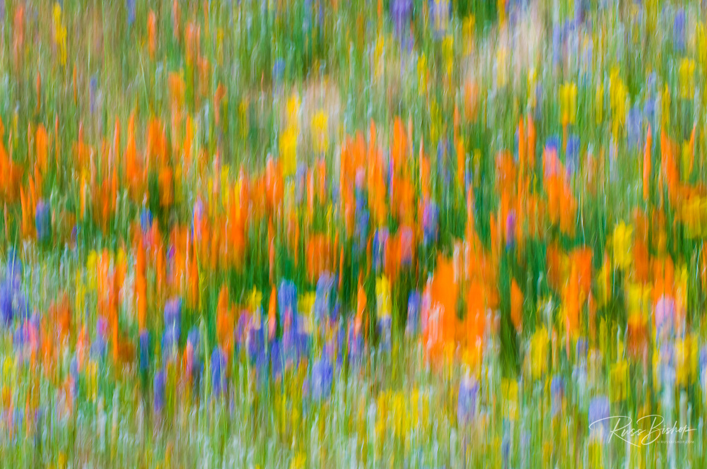 Wildflower abstract, Tehachapi Mountains, Angeles National Forest, California
