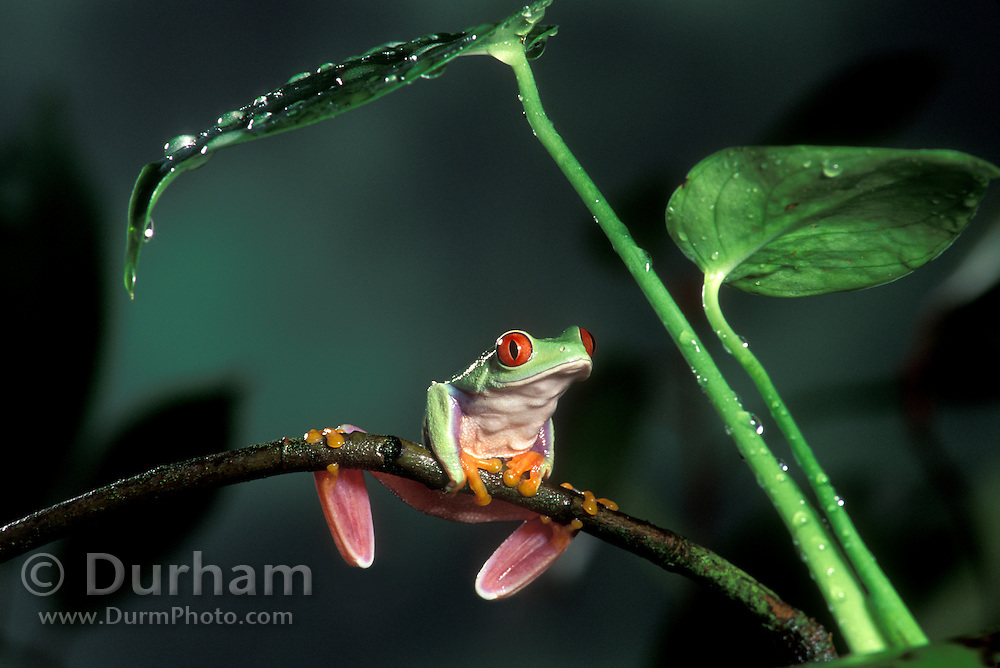 A red-eyed treefrog (Agalychnis callidryas) perched on a tropical plant. Range: tropical rainforests southern Mexico to Pananma. captive 1999