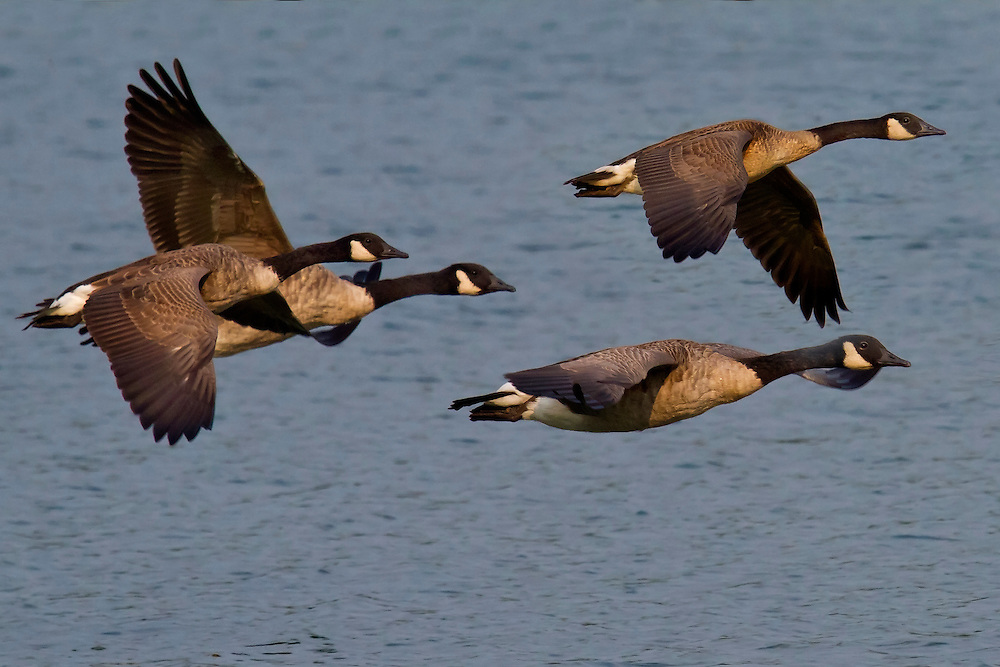 Four geese flying over the lake.