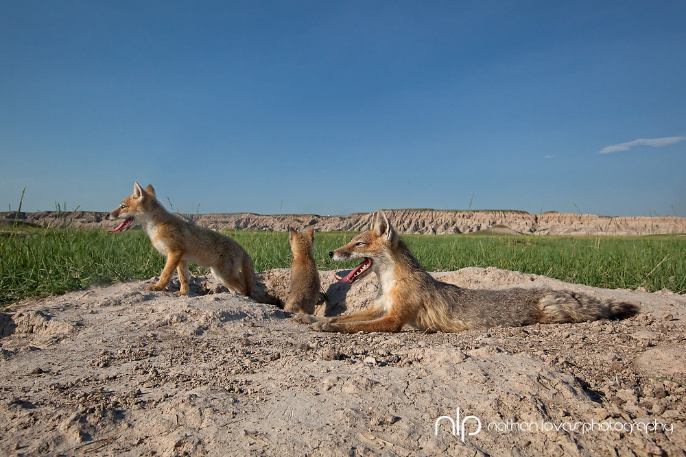 Swift fox and kits at den, taken in South Dakota in the wild.