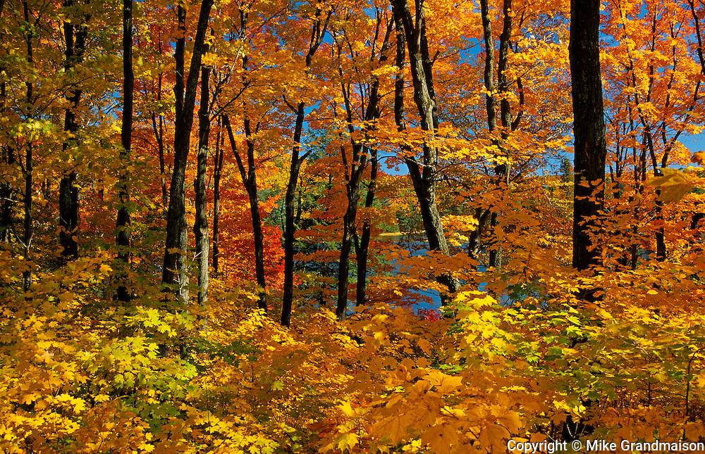 sugar maples in autumn splendor<br /> Gatineau Park<br /> Quebec<br /> Canada