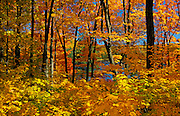 sugar maples in autumn splendor<br /> Gatineau Park<br /> Quebec<br /> Canada