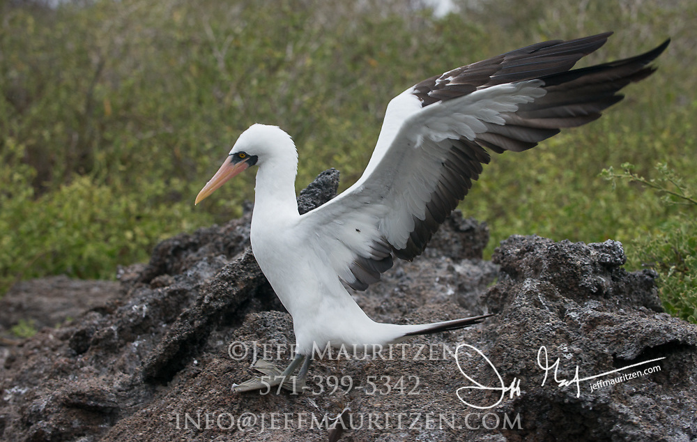 A Nazca booby stands on a volcanic rock on Genovesa island in the Galapagos archipelago of Ecuador.