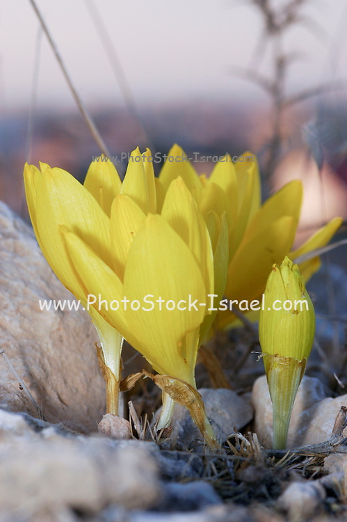 Israel, sde Boker, Negev, desert, Sternbergia clusiana Fall Daffodil. This flower blooms for three weeks every year just after the first rains in November. November 2005