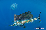 Atlantic sailfish, Istiophorus albicans, lit up in excited hunting color pattern while herding bait ball of sardines, Sardinella aurita, off Yucatan Peninsula, Mexico ( Caribbean Sea )