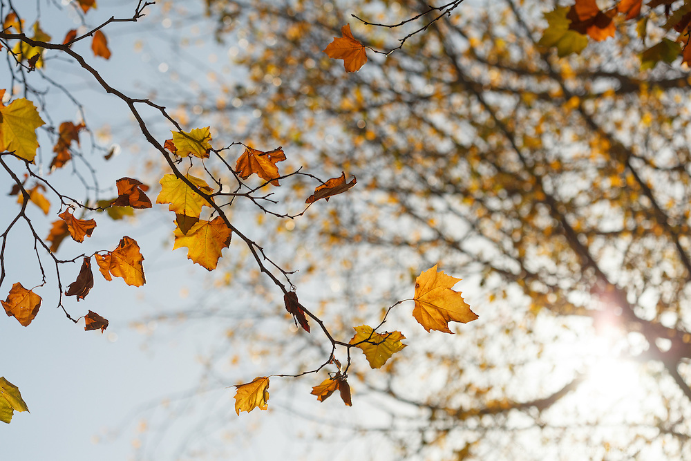 Autumn in Ireland, 2012: A branch of a tree with a few remaining orange and brown leaves waves in front of the warm Autumn Sun which shines through the branches of the out of focus trees behind it