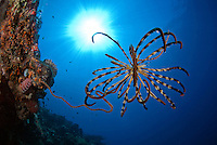 Crinoid and Sunburst
