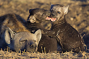Spotted Hyena<br /> Crocuta crocuta<br /> Playful 8 week old cubs with mother<br /> Masai Mara Conservancy, Kenya