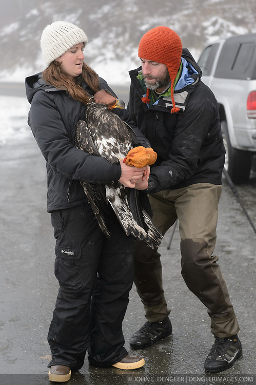 "Rachel Wheat, a graduate student at the University of California Santa Cruz (left) and Steve Lewis, Raptor Management Coordinator, U.S. Fish & Wildlife Service, prepare to release bald eagle (Haliaeetus leucocephalus) ""4P"" back into the wild. Wheat is conducting a bald eagle migration study of eagles that visit the Chilkat River for her doctoral dissertation. She hopes to learn how closely eagles track salmon availability across time and space. The bald eagles are being tracked using solar-powered GPS satellite transmitters (also known as a PTT - platform transmitter terminal) that attach to the backs of the eagles using a lightweight harness. A handmade leather hood is placed over the bald eagle's eyes to keep the bird calm. Leather booties protect the researchers from the bald eagle's powerful talons during the process of taking measurements and attaching the GPS satellite transmitter. The latest location of this eagle can be found here: http://www.ecologyalaska.com/eagle-tracker/4p/ . During late fall, bald eagles congregate along the Chilkat River to feed on salmon. This gathering of bald eagles in the Alaska Chilkat Bald Eagle Preserve is believed to be one of the largest gatherings of bald eagles in the world."