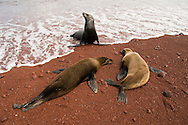 Sea lions bask on a red sand beach, Galapagos Islands.