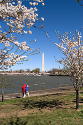 Washington, DC: Cherry Blossom Festival.  Cherry blossoms and Washington Monument.  Photo #: washch111 (nef472)..Photo copyright Lee Foster, www.fostertravel.com, 510-549-2202, lee@fostertravel.com