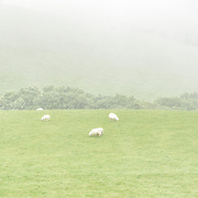 A flock of sheep graze on green pastures in the mist on a plateau in Snowdonia, Wales.