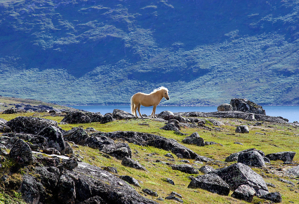 The Icelandic horse is a small breed at times the size of a pony developed in Iceland.