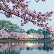 The predawn light catched the pink cherry blossom flowers in Washington DC, with their reflection on the still waters of the Tidal Basin. The Yoshino Cherry Blossom trees lining the Tidal Basin in Washington DC bloom each early spring. Some of the original trees from the original planting 100 years ago (in 2012) are still alive and flowering. Because of heatwave conditions extending across much of the North American continent and an unusually warm winter in the Washington DC region, the 2012 peak bloom came earlier than usual.