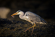 Gray Heron with a fish in it's beek | Gråhegre med en fisk i nebbet.