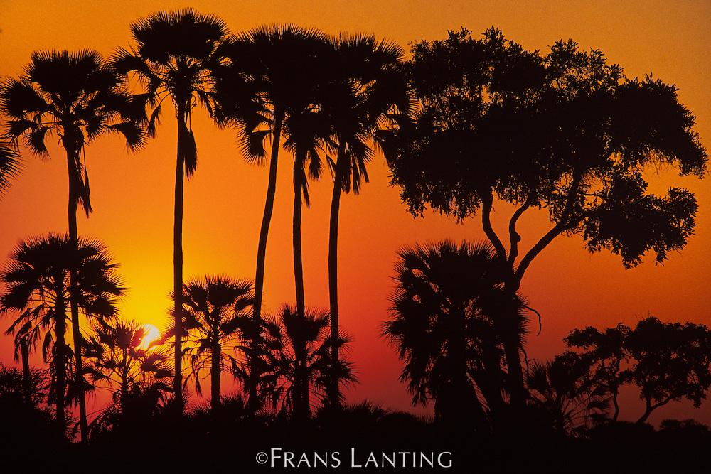 Palm trees at sunset, Okavango delta, Botswana