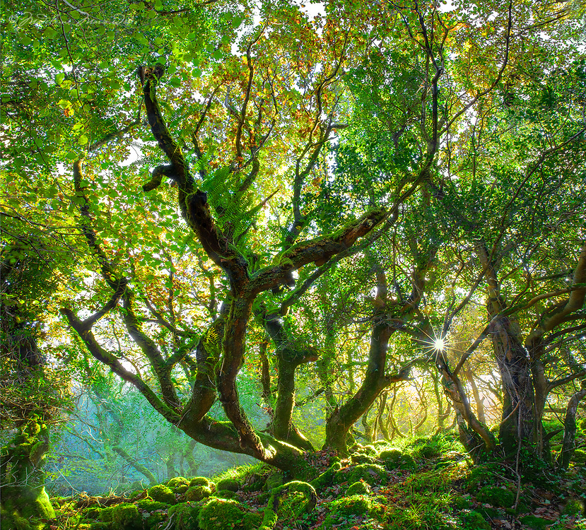 LIMITED EDITION only &quot;Magic Woodlands, Co. Kerry,&quot;  <br />