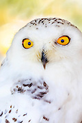 Close-up of a snowy owl.